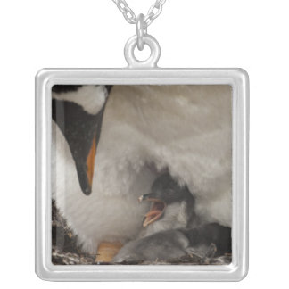 Gentoo Penguin (Pygoscelis papua) on nest with Silver Plated Necklace