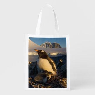 gentoo penguin, Pygoscelis Papua, parent with