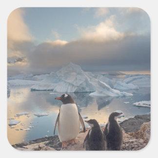 gentoo penguin, Pygoscelis Papua, parent with 2 Square Sticker