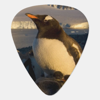 gentoo penguin, Pygoscelis Papua, parent with Guitar Pick