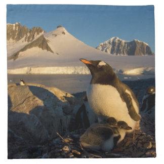 gentoo penguin, Pygoscelis Papua, parent with Napkin