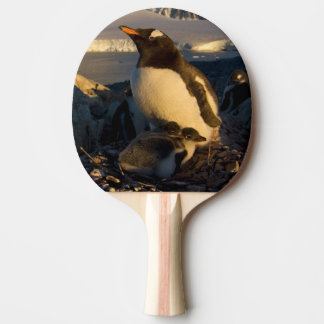 gentoo penguin, Pygoscelis Papua, parent with Ping Pong Paddle