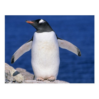 Gentoo Penguin Pygoscelis papua Port Post Card