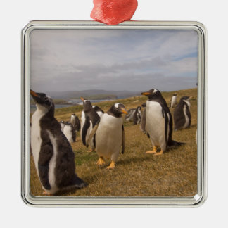 gentoo penguin, Pygoscelis papua, rookery on Christmas Ornament