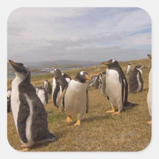 gentoo penguin, Pygoscelis papua, rookery on Square Sticker
