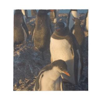 gentoo penguin, Pygoscelis papua, rookery on the Notepad