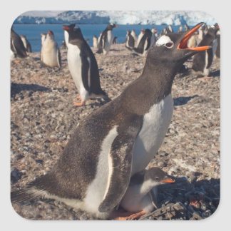 gentoo penguin, Pygoscelis papua, with chick on Square Sticker