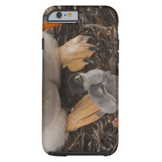Gentoo Penguin (Pygoscelis papua) with chick, Tough iPhone 6 Case