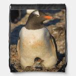gentoo penguin, Pygoscelis papua, with newborn Backpacks