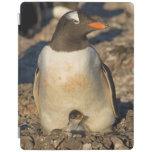 gentoo penguin, Pygoscelis papua, with newborn iPad Cover