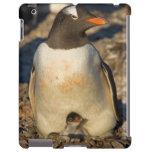 gentoo penguin, Pygoscelis papua, with newborn iPad Case
