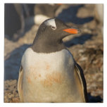 gentoo penguin, Pygoscelis papua, with newborn Large Square Tile