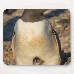 gentoo penguin, Pygoscelis papua, with newborn Mousepad