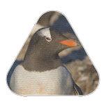 gentoo penguin, Pygoscelis papua, with newborn Speaker