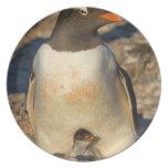 gentoo penguin, Pygoscelis papua, with newborn Plate