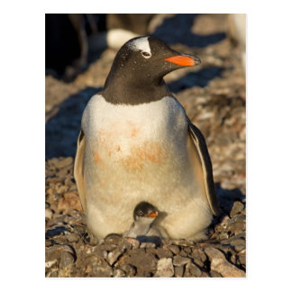 gentoo penguin, Pygoscelis papua, with newborn Postcard