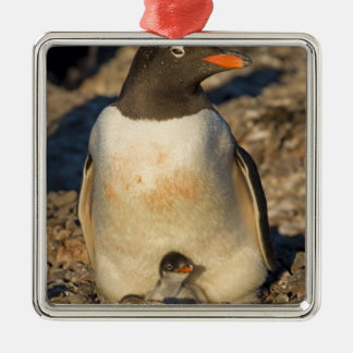 gentoo penguin, Pygoscelis papua, with newborn Silver-Colored Square Decoration