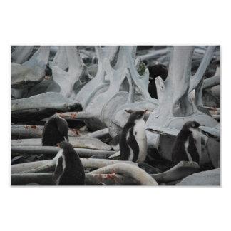 Gentoo Penguins in Whale Bones Photo Print