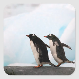 Gentoo penguins on rocky shoreline with backdrop 2 square sticker