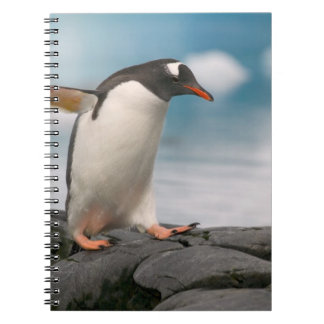 Gentoo penguins on rocky shoreline with backdrop 3 notebook