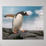 Gentoo penguins on rocky shoreline with backdrop 3 poster
