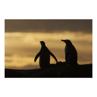 Gentoo Penguins Pygoscelis papua) at sunset Poster