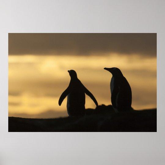 Gentoo Penguins Pygoscelis papua) at sunset Poster