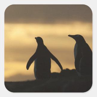 Gentoo Penguins Pygoscelis papua) at sunset Square Sticker