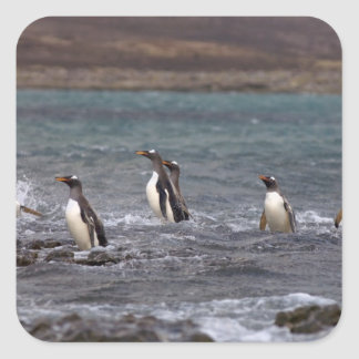 gentoo penguins, Pygoscelis papua, jumping out Square Sticker