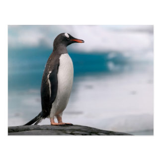 Gentoo penguins Pygoscelis papua on rocky Postcard