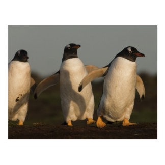 Gentoo Penguins Pygoscelis papua) on Sea Lion Postcard