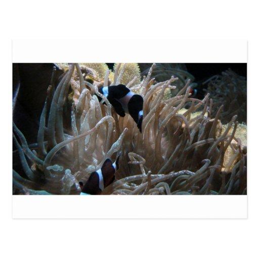 geordie clownfish post cards