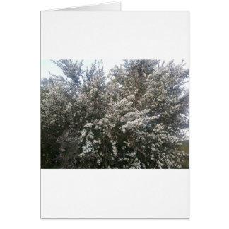 Geraldton Wax Flower Greeting Card