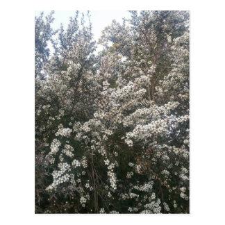 Geraldton Wax Flower Postcard