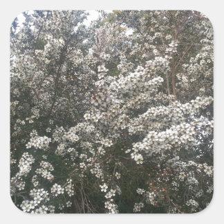 Geraldton Wax Flower Square Sticker