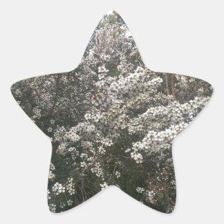 Geraldton Wax Flower Star Sticker