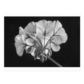 Geranium Flower In Progress Black and White Post Cards