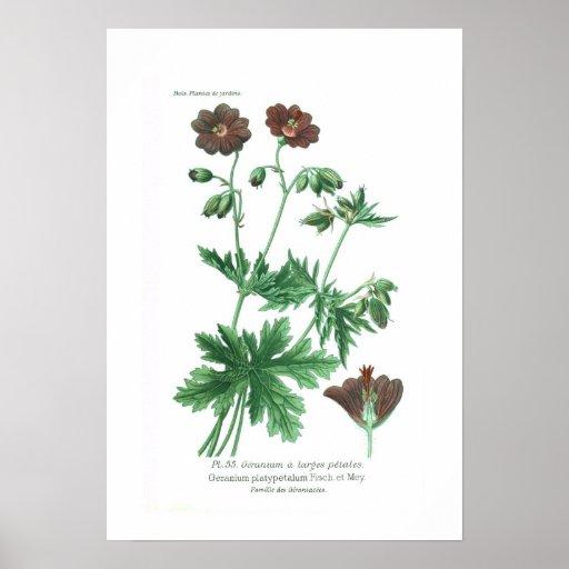 Geranium platypetalum poster