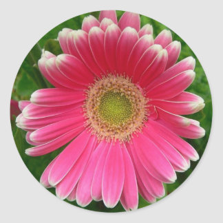 Gerber Daisies Pink Flower Nature Round Stickers
