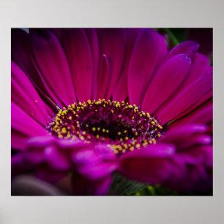 Gerber Daisy - Dark Pink - Angelic Posters