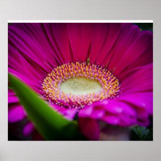Gerber Daisy - Pink - Eleigance Poster