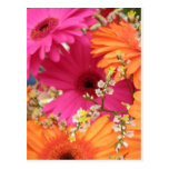 Gerber Daisy Post Cards