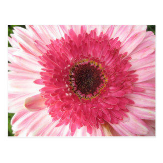 Gerbera Daisy Post Card