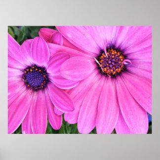Gerbera Pink Purple Daisy Flowers Poster