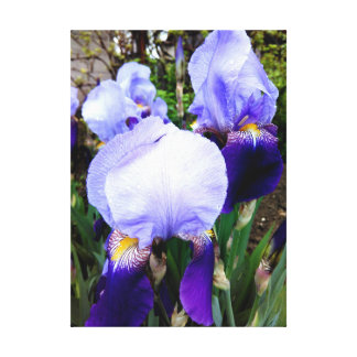 German Iris And Some Raindrops Canvas Print