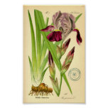 German Iris (Iris germanica) Poster