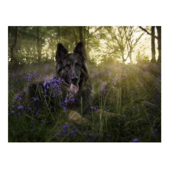 German shepherd dog at sprintime postcard