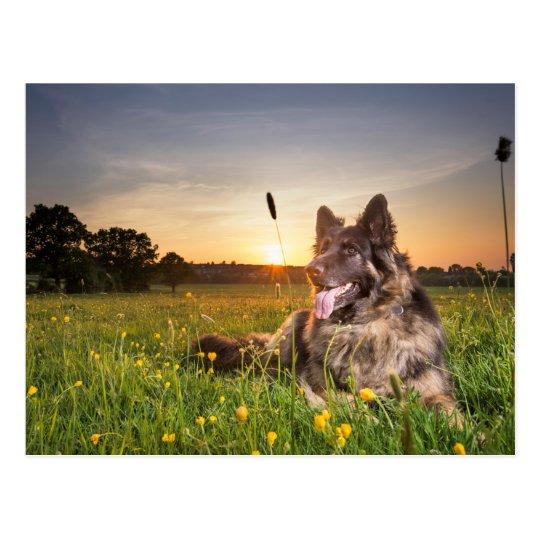 German shepherd dog in the evening sun postcard