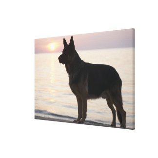 German Shepherd dog on Georgian Bay, Ontario, Canvas Print