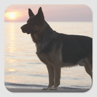 German Shepherd dog on Georgian Bay, Ontario, Square Sticker